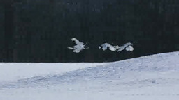 タンチョウの飛翔と鳴き合い Stock Video Footage