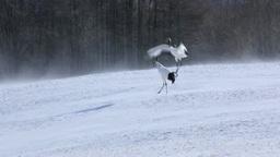 Red-crowned crane Footage