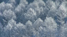 Ice larch with rime Footage