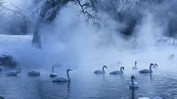 屈斜路湖の白鳥と朝靄 Stock Video Footage