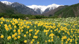Narcissus and the central Alps Stock Video Footage
