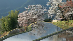 Mitake cherry blossoms and rice terraces Stock Video Footage