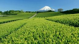 新茶の茶畑と富士山 Stock Video Footage