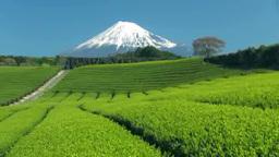 新茶の茶畑と富士山 Footage