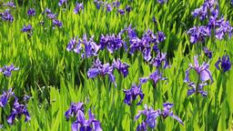 Iris laevigata of Kenrokuen Stock Video Footage