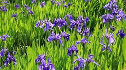 Iris laevigata of Kenrokuen Footage