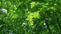 Green beech forest Footage