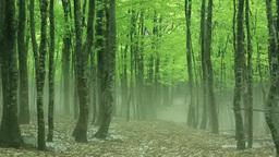 八甲田の新緑のブナ林と残雪と霧 Footage