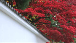 Autumn leaves and white wall Stock Video Footage
