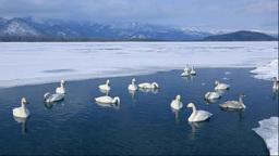 A swan on Lake Kussharo Stock Video Footage
