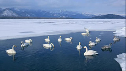 A swan on Lake Kussharo Footage