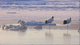 朝の濤沸湖のタンチョウと白鳥 Stock Video Footage