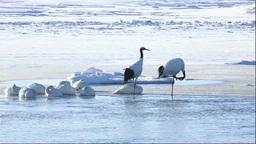 濤沸湖のタンチョウと白鳥 Stock Video Footage
