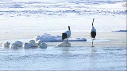 濤沸湖のタンチョウと白鳥 Footage