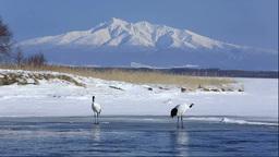 Japanese cranes of Lake Tofutsu and Mount Shari Footage