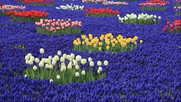 Kamiyubetsu Tulip Park Stock Video Footage