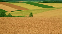 Wheat fields on the Patchwork hills Stock Video Footage