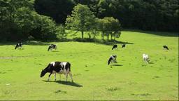 牛の牧場 Stock Video Footage