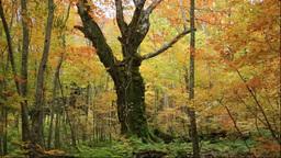 白神山地の岳岱自然観察教育林の紅葉の400年ブナ Footage