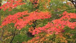 白神山地の十二湖の紅葉 Footage