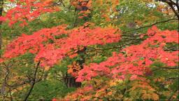 白神山地の十二湖の紅葉 Stock Video Footage