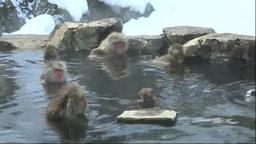 地獄谷野猿公苑の温泉に入る猿 Footage