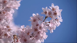 桜 Stock Video Footage