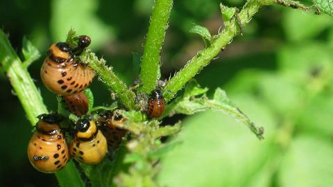 colorado beetle larva (leptinotarsa decemlineata) -... Stock Video Footage