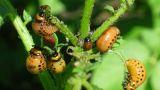colorado beetle larva (leptinotarsa decemlineata) - agriculture pest, timelapse Footage