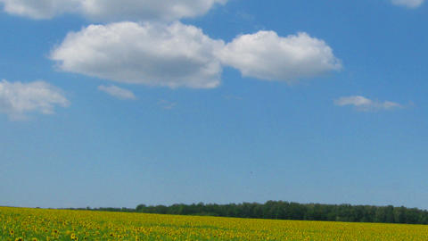 sunflowers field under blue sky with clouds Stock Video Footage