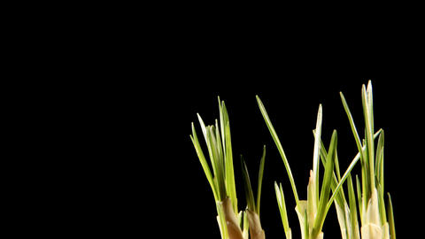 Growth of white crocuses on the black background (crocus... Stock Video Footage