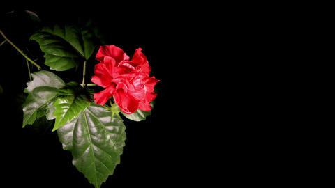 Blooming red Hibiscus on a black background (Hibiscus... Stock Video Footage