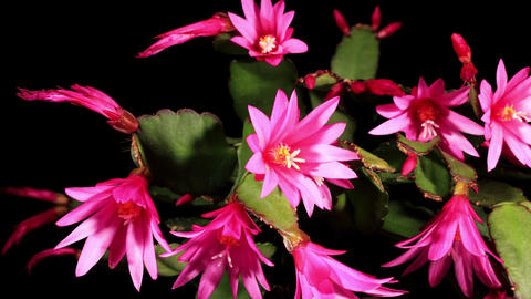Epiphytic cactus bloom on the black background (Schlumbergera) timelapse Footage