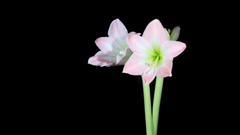Time-lapse Opening white amaryllis (Amaryllis belladonna L.) Stock Video Footage