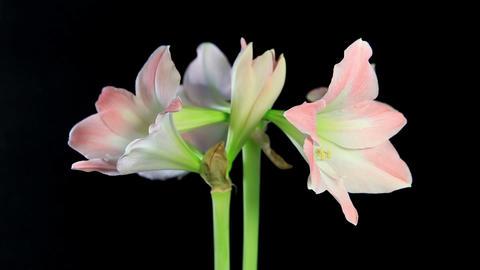 white amaryllis on the black background (Amaryllis... Stock Video Footage