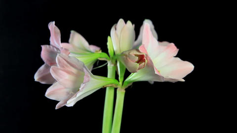 white amaryllis on the black background (Amaryllis... Stock Video Footage