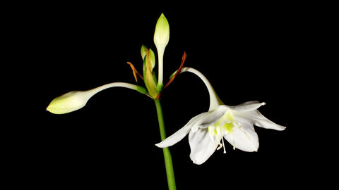 white Amazon lily flower on the black background... Stock Video Footage