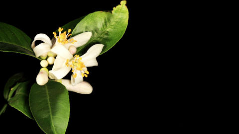 Lemon blossoms on the black background (Citrus limon L.)... Stock Video Footage