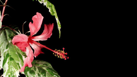 Blooming pink Hibiscus on a black background (Hibiscus Cooperi) (Time Lapse) Footage