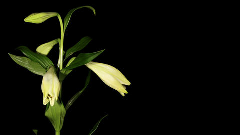 White lily on the black background (longiflorum. White... Stock Video Footage