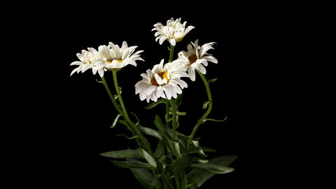 Blooming white daisies on the black background... Stock Video Footage