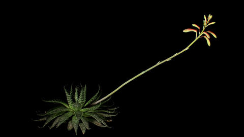 Flowering Aloe on the black background (Aloe aristata.... Stock Video Footage