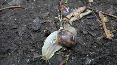 snail crawls(Helix pomatia), timelapse Stock Video Footage
