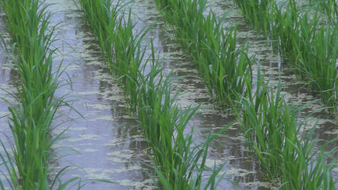 rice planting 田植え Stock Video Footage