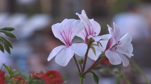flowers 1 Stock Video Footage