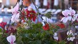 flowers 3 Footage