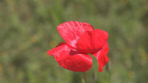 red poppy 2 Stock Video Footage