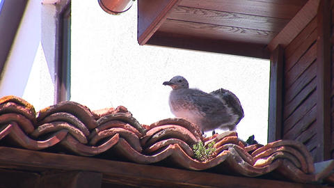 seagull 2 Stock Video Footage