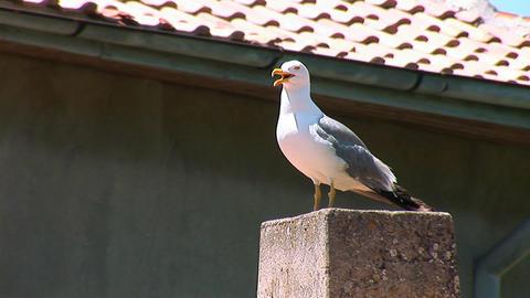 seagull 4 Footage