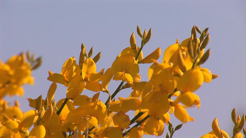 yellow flowers 1 Stock Video Footage